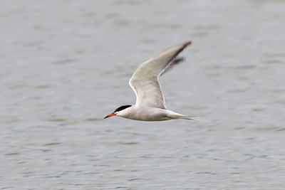 Common Tern, Little Marlow Gravel Pit