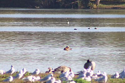 Ruddy Shelduck (Tadorna ferruginea) in centre of photo. Little Marlow Gravel Pit, 3 Nov. 2007.