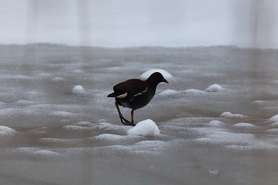 Moorhen on the ice, Piper's Corner, Gt Kingshill, Bucks.