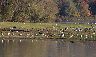 Ruddy Shelduck (Tadorna ferruginea) grazing in centre of photo. Little Marlow Gravel Pit, 3 Nov. 2007.