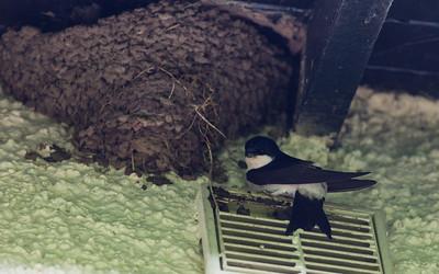 House martin nesting at Mansegate