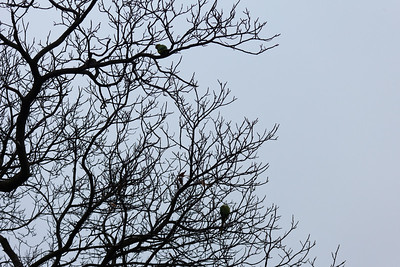Ring-necked parakeets, Greewich Park