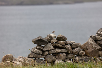Meadow pipit, Lewis