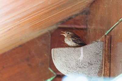 Spotted Flycatcher chick (Musciapa striata)