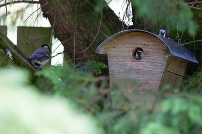 Great tit adult and chick (Parus major)