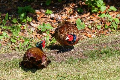 Pheasants (Phasianus colchicus)