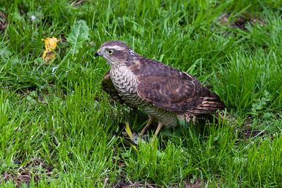 Sparrowhawk (Accipiter nisus) - female - with prey