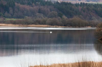 Mute Swan (Cygnus olor) on Loch Ken