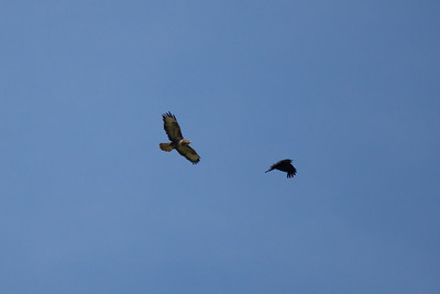 Buzzard (Buteo buteo) and Carrion crow (Corvus corone)