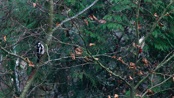 Male (right) and female Great spotted Woodpecker (Dendrocopos major)