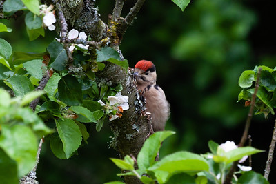Great spotted woodpecker chick (Dendrocopos major)