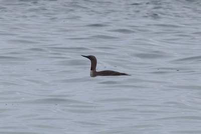 Red-throated diver, Loch Roag, Lewis