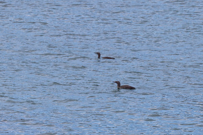 Red-throated diver, Carnais bay, Lewis
