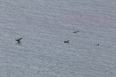 Red-throated divers, Carnais bay, Lewis