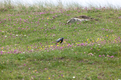 Rock dove in the machair