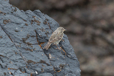 Rock Pipit. Juvenile - check the yellow gape. Mealastadh beach, Isle of Lewis.