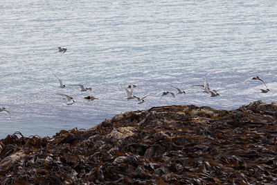 Common terns, Siaram Island, Lewis