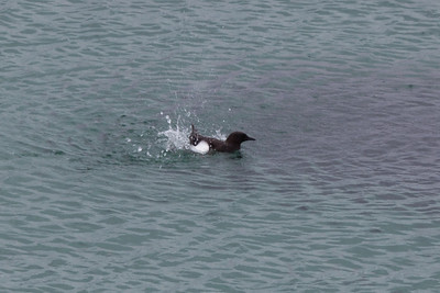 Black Guillemot, Lewis