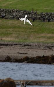 Gannet (Morus bassanus) diving