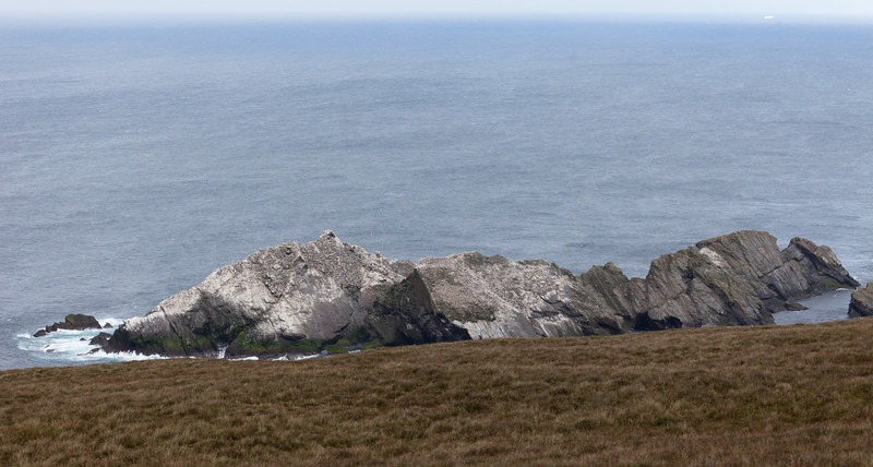 Gannets (Morus bassanus)
