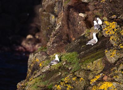 Fulmars (Fulmaris glacialis)