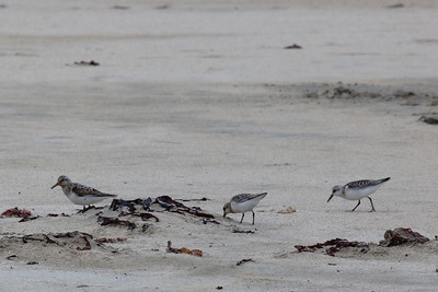 Sanderlings (Calidris alba)