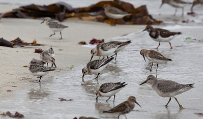 A Knot (Calidiris canutus) with Sanderlings (Calidris alba), Dunlins (Calidris alpina) and a Turnstone (Arenaria interpres)