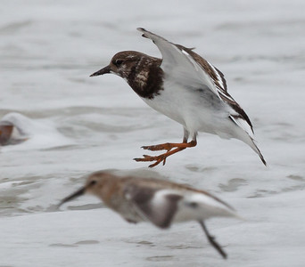 Ruddy Turnstone (Arenaris interpres)