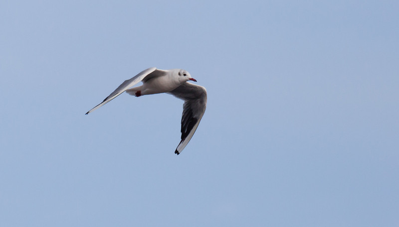 Black-headed gull (Chroicocephalus ridibundus) in winter plumage
