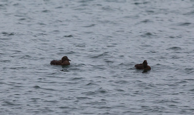 Eider ducks (Someteria mollissima)