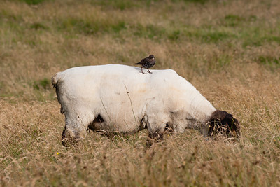 Starling (Sturnus vulgaris) on sheep