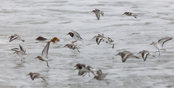 Turnstone (Arenaria interpres) with Sanderlings (Calidris alba) and Dunlins (Calidris alpina)