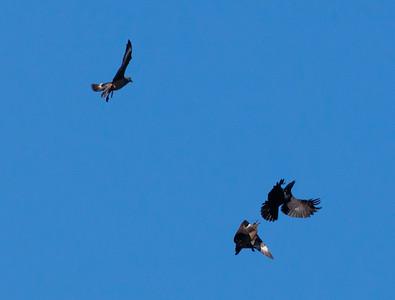 Great skuas (Stercorarius skua) mobbing a raven (Corvus corax)