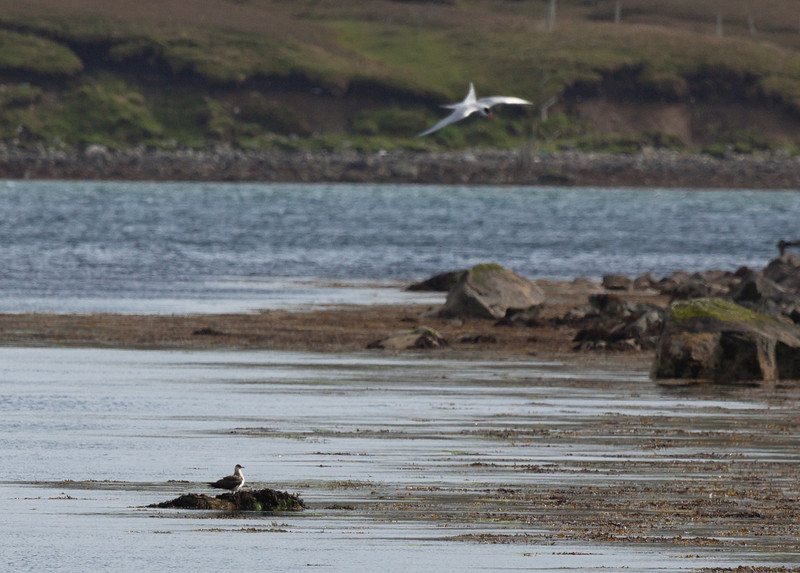 Arctic skua (Stercorarius parasiticus)