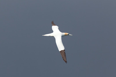 Gannet over the Forth