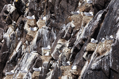 Kittiwakes and Guillemots nesting on cliff