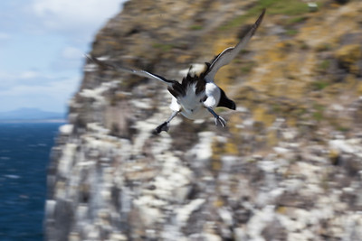Razorbill, hovering in wind from behind
