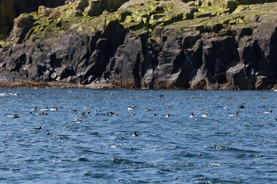 Guillemots and Puffins