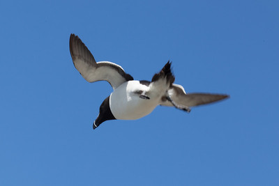 Razorbill, hovering in wind