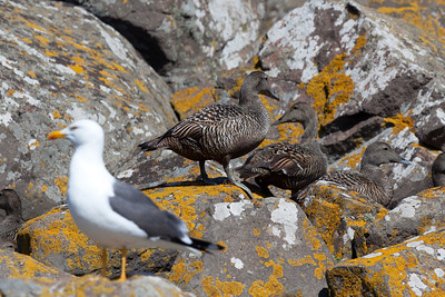 Eider ducks and Lesser black-backed gull