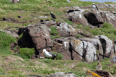 Lesser black-backed gull having killed baby rabbit - mother looks on. (Puffins behind)