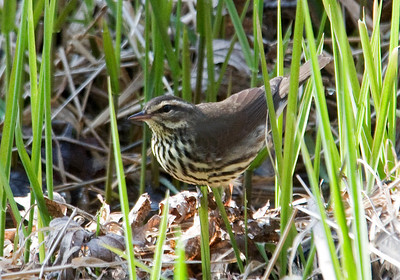 Waterthrush - Northern  -Maplewood Nature Center - MN