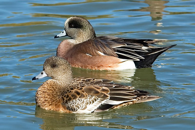 Wigeon - American - male and female - Socorro, NM