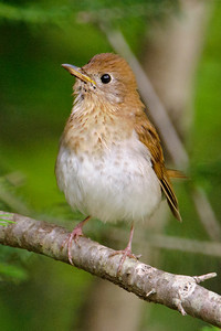 Veery - Forest Road 158 - Cook County, MN