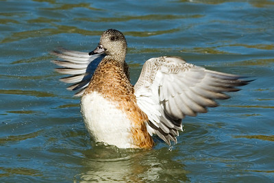 Wigeon - American - female - Socorro, NM