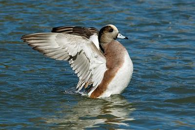 Wigeon - American - male - Socorro, NM