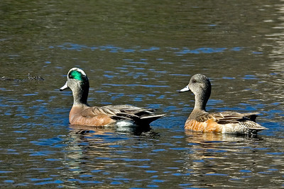 Wigeon - American - male and female - Wakulla Springs State Park - FL