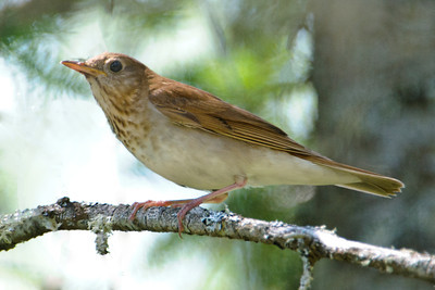 Veery - Forest Road 140 - Cook County, MN