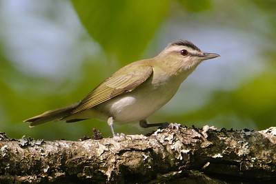 Vireo - Red-eyed - Dunning Lake, MN
