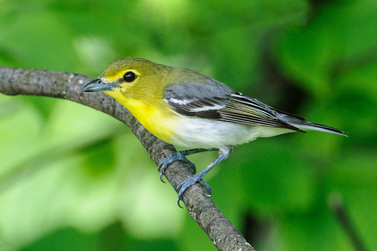 Vireo - Yellow-throated - Itasca County Road 325 - MN